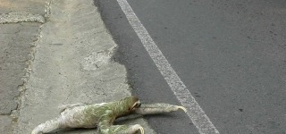 Man That Helps a Lovely Sloth Crossing Across the Road Has a Heart of Gold